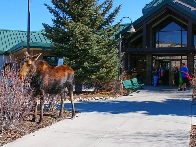 Moose in Silverthorne